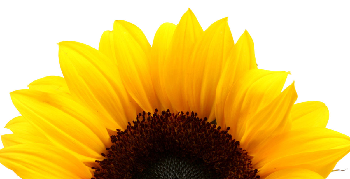 AdobeStock 743300SUNFLOWER