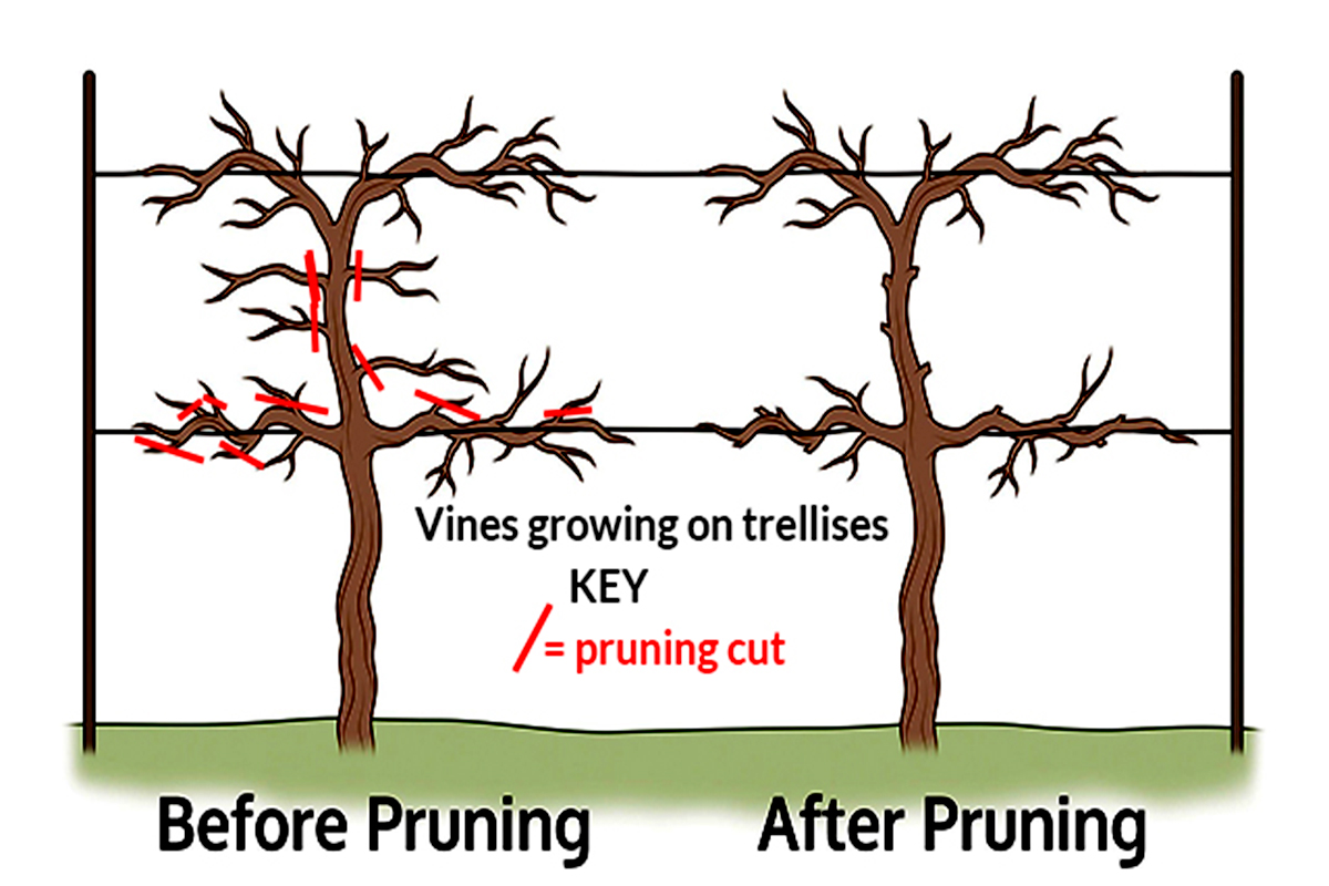 Kniffen Method of pruning grapevines